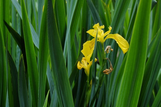 Iris.on.the.Shore